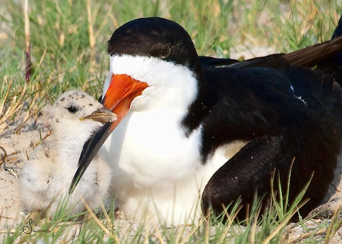 Black Skimmer Greeting Card featuring the photograph Snuggle by Sally Mitchell
