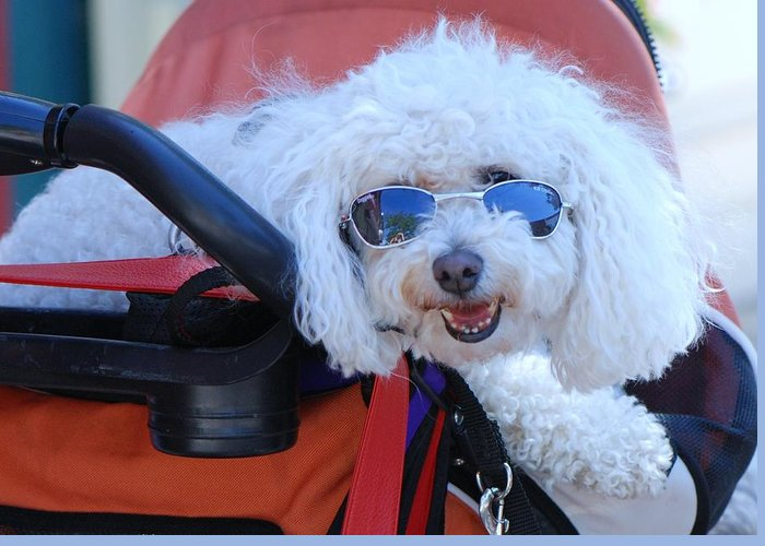 Poodle With Sunglasses Greeting Card featuring the photograph Soaking Up The Sun by Lisa DiFruscio