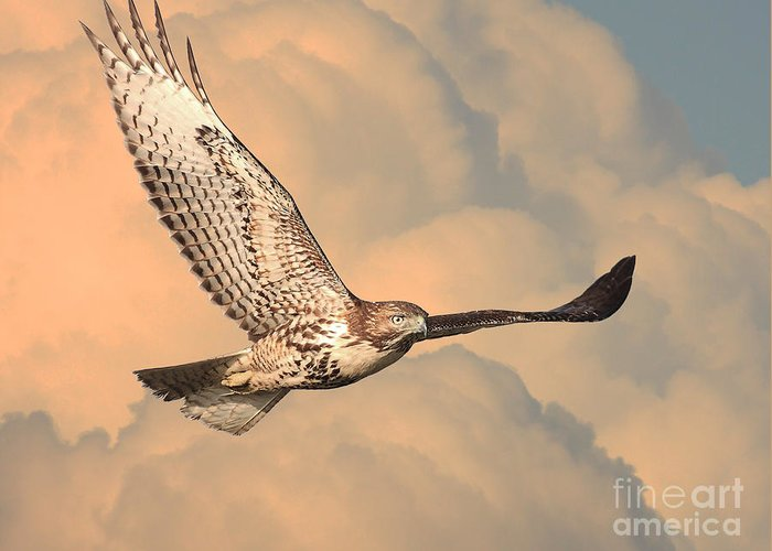 Wingsdomain Greeting Card featuring the photograph Soaring Hawk by Wingsdomain Art and Photography