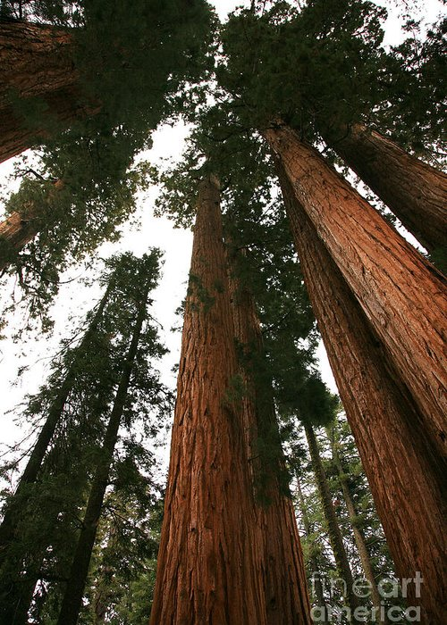 Sequoia National Park Greeting Card featuring the photograph Soaring Sequoias by Timothy Johnson