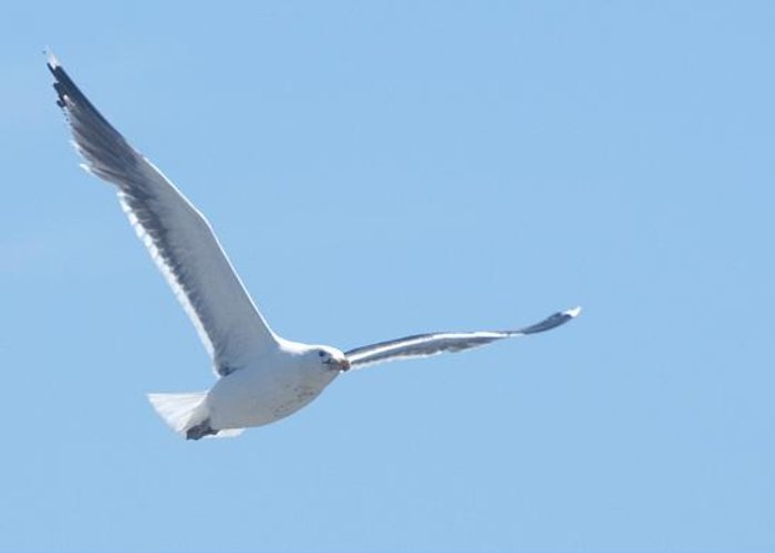 Seagull Greeting Card featuring the photograph Soaring by Steven Natanson