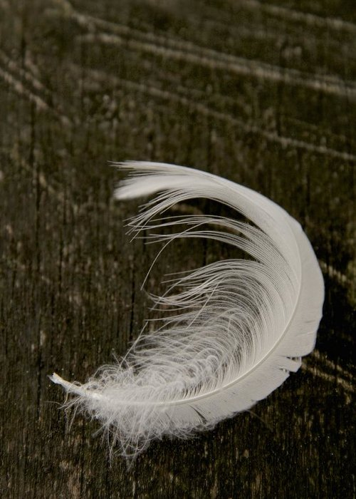 Feather Greeting Card featuring the photograph Soft Curve Two by Odd Jeppesen