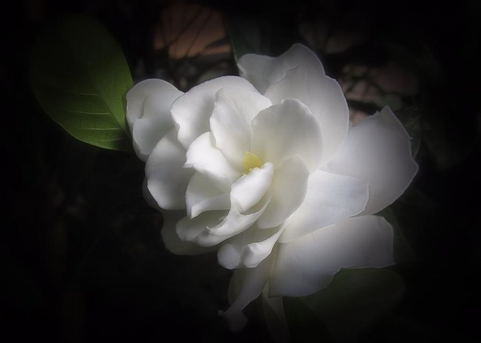 Greeting Card featuring the photograph Soft Focus Gardenia by MTBobbins Photography