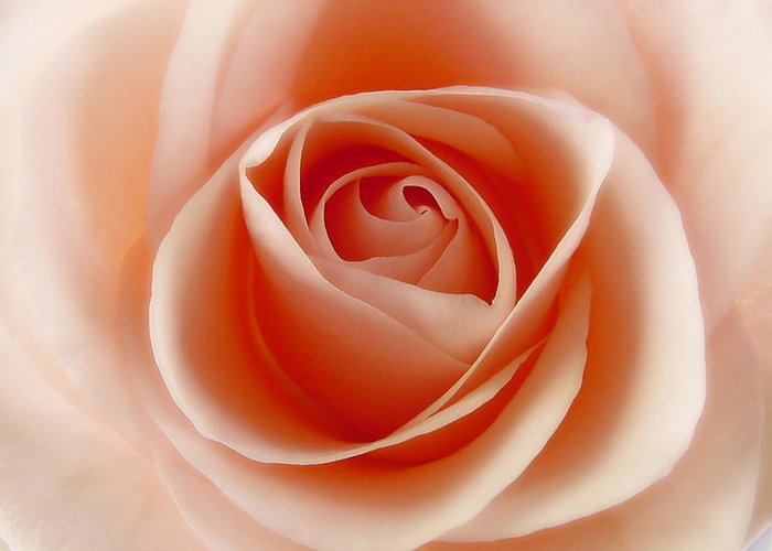 Rose Greeting Card featuring the photograph Soft Rose by Steve Williams
