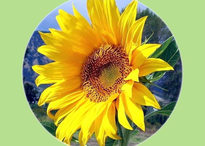 Sunflower Greeting Card featuring the photograph Solid Sunshine by Will Borden