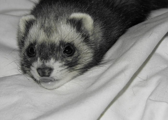 Ferrets Greeting Card featuring the photograph Sophie by Athena Ellis
