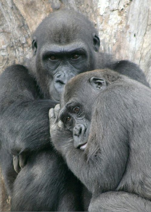 Gorilla Greeting Card featuring the photograph Souls by Mitch Cat