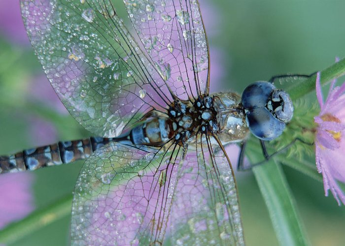 Mp Greeting Card featuring the photograph Southern Hawker Dragonfly Aeshna Cyanea by Tim Fitzharris