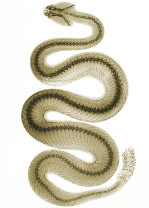 Crotalus Oreganus Helleri Greeting Card featuring the photograph Southern Pacific Rattlesnake, X-ray by Ted Kinsman