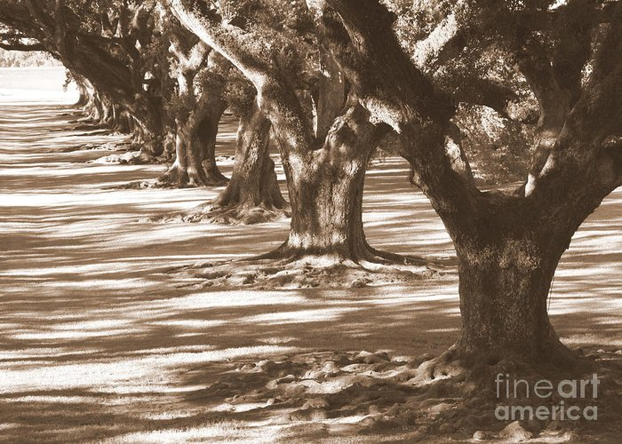 Southern Landscape Greeting Card featuring the photograph Southern Sunlight On Live Oaks by Carol Groenen