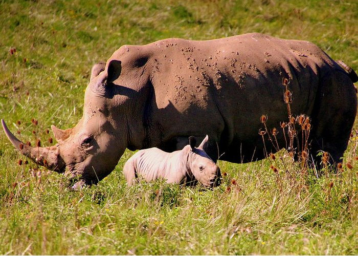 Southern White Rhinoceros Greeting Card featuring the photograph Southern White Rhino With A Little One by Laurel Talabere