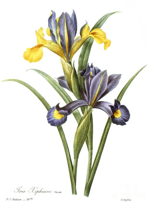 1833 Greeting Card featuring the photograph Spanish Iris by Granger