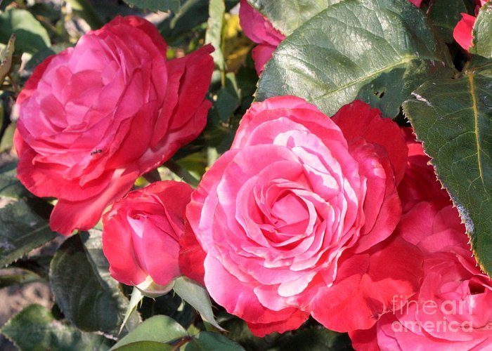 Rose Greeting Card featuring the photograph Sparkling Roses by Carol Groenen