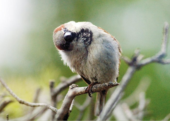Bird Greeting Card featuring the photograph Sparrow Tilts It Head by Steve Somerville