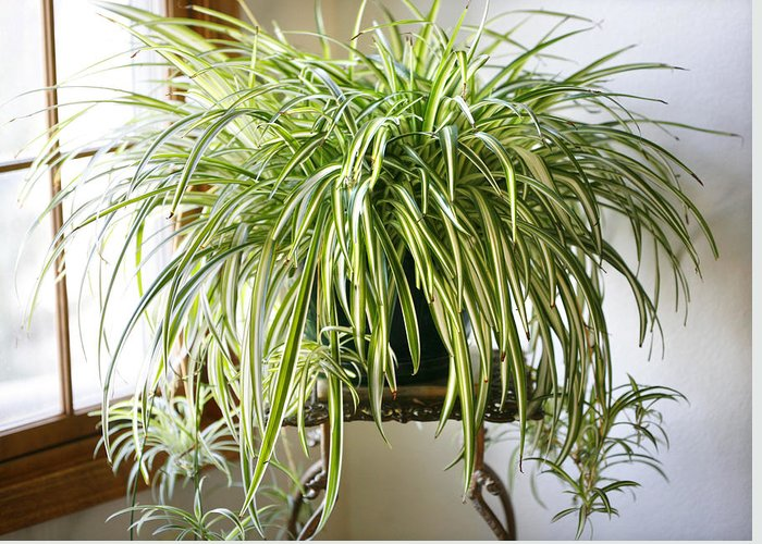Spider Plant Greeting Card featuring the photograph Spider Plant by Marilyn Hunt