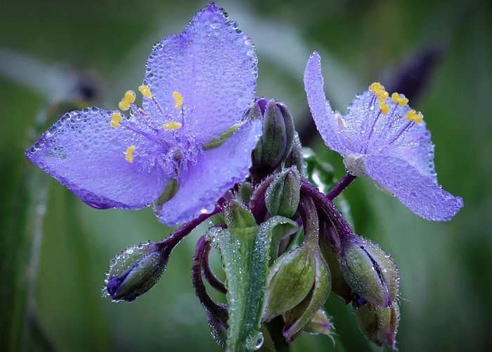 Tradescantia Greeting Card featuring the photograph Spiderwort by James Barber