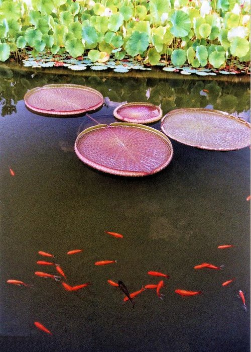 Waterlilies Greeting Card featuring the photograph Splash Of Tangerine by Jan Amiss Photography