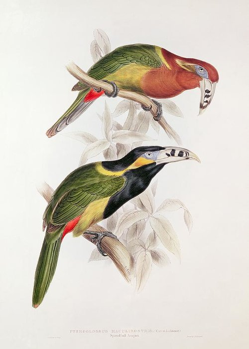 Spotted Greeting Card featuring the painting Spotted Bill Aracari by Edward Lear