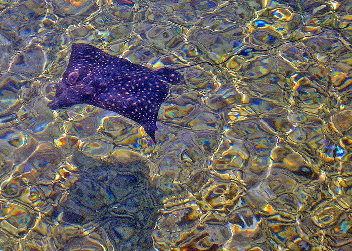 Spotted Eagle Ray Greeting Card featuring the photograph Spottedeagleray by Kelly   ZumBerge