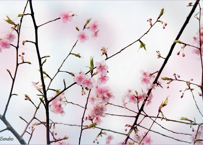 Cherry Blossoms Greeting Card featuring the photograph Spring Awakening by Eena Bo