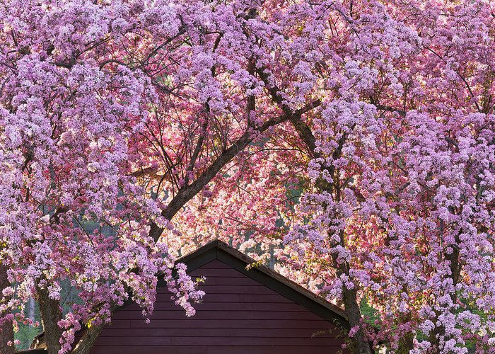 Spring Greeting Card featuring the photograph Spring Blossom Canopy by Alan L Graham