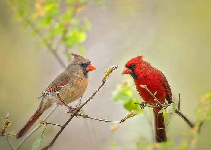 Cardinals Greeting Card featuring the photograph Spring Cardinals by Bonnie Barry