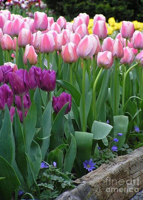 Tulips Greeting Card featuring the photograph Spring Colors by Louise Magno
