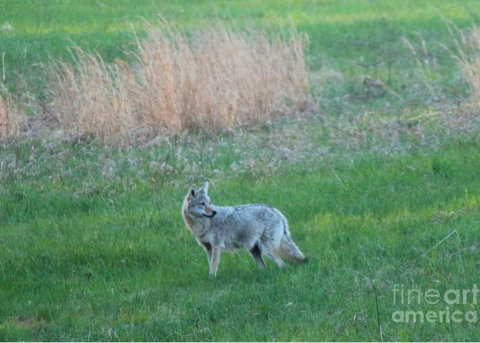 Coyote Greeting Card featuring the photograph Spring Coyote by Neal Eslinger