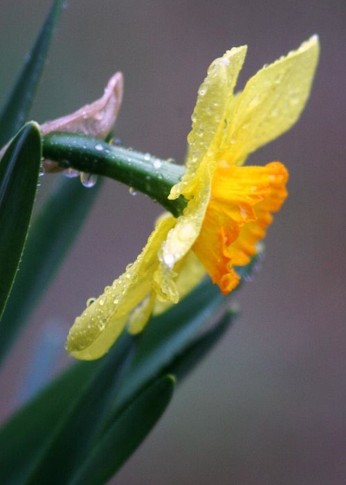 Daffodil Springtime Flower Rain Greeting Card featuring the photograph Spring Rain by Linda Russell
