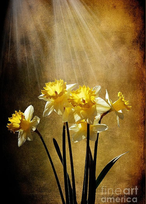 Daffodils Greeting Card featuring the photograph Spring Sun by Lois Bryan