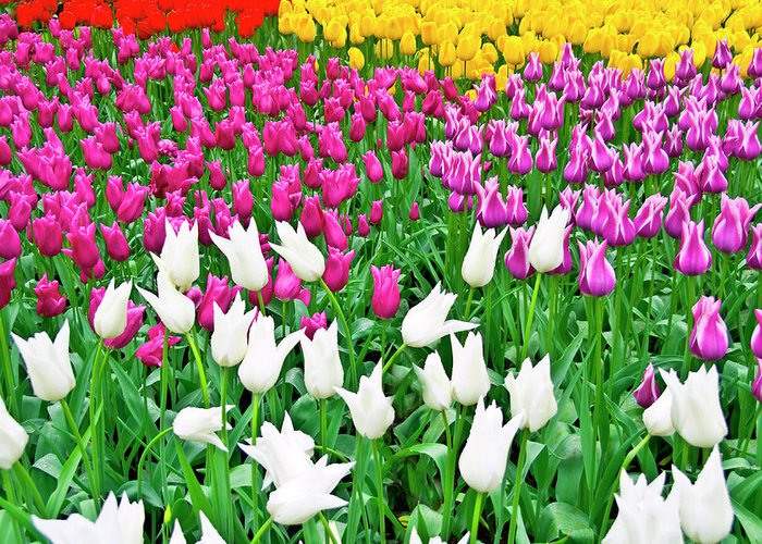 All Greeting Card featuring the photograph Spring Tulips Flower Field II by Artecco Fine Art Photography