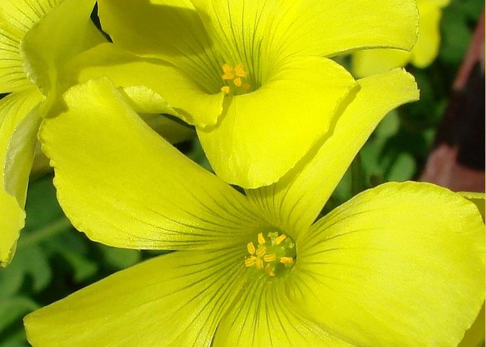 Flower Greeting Card featuring the photograph Spring Yellow by Liz Vernand