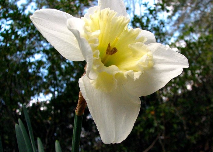 Daffodil Greeting Card featuring the photograph Spring's First Daffodil 3 by J M Farris Photography