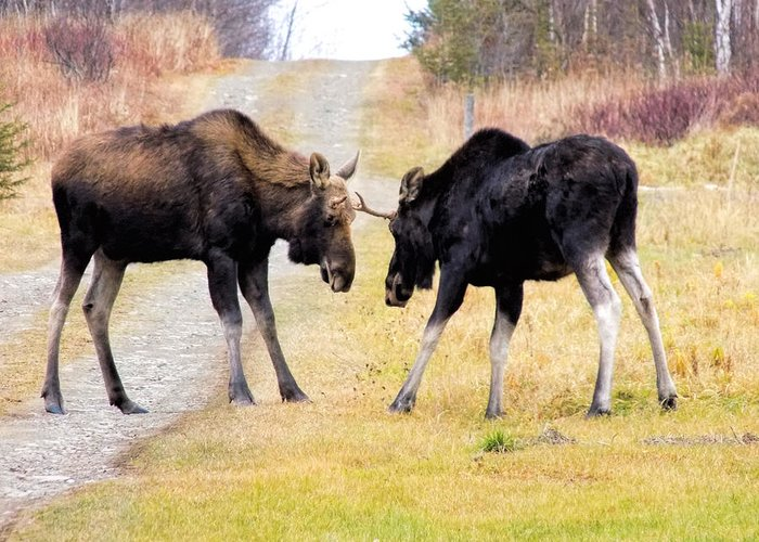 Moose Greeting Card featuring the photograph Squaring Off by William Tasker