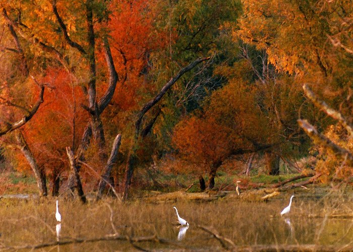 Landscape Greeting Card featuring the photograph Squaw Creek Egrets by Steve Karol