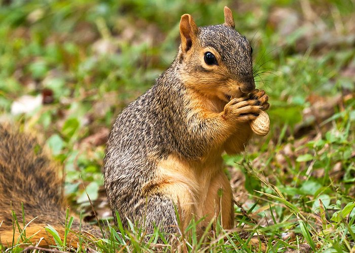 Fox Squirrel Greeting Card featuring the photograph Squirrel Eating A Peanut by James Marvin Phelps