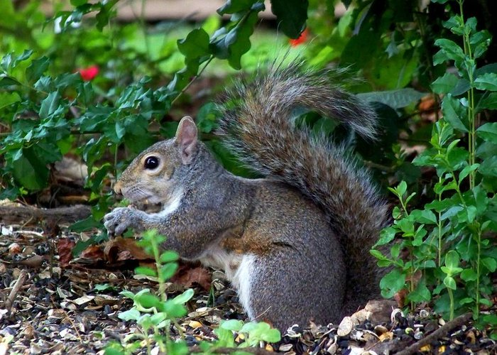 Squirrel Greeting Card featuring the photograph Squirrel IIi by Jai Johnson