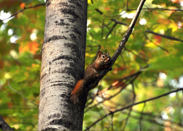 Squirrel Greeting Card featuring the photograph Squirrel In Fall by John Ricker
