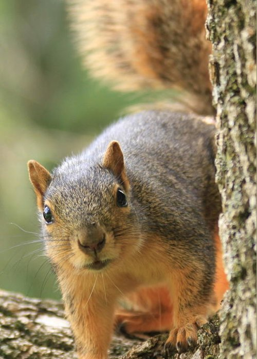 Squirrel Greeting Card featuring the photograph Squirrel Look by Krista Kulas