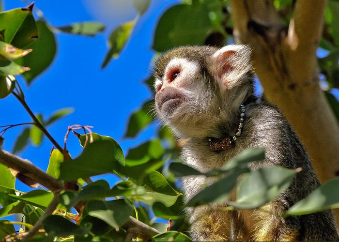 Squirrel Greeting Card featuring the photograph Squirrel Monkey by Tom Dowd