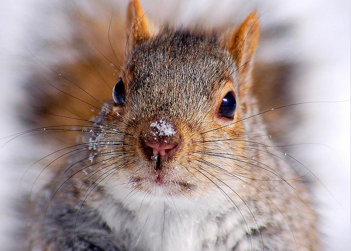 Eastern Greeting Card featuring the photograph Squirrel Portrait by Mircea Costina Photography