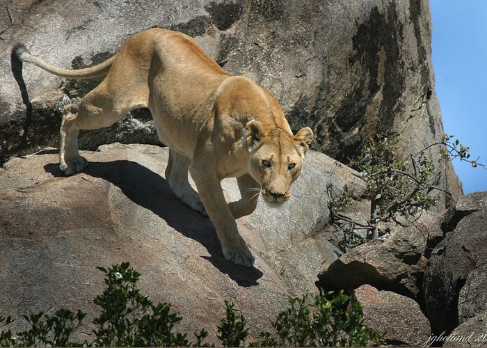 Lioness Greeting Card featuring the photograph Stalking Humans by Joseph G Holland