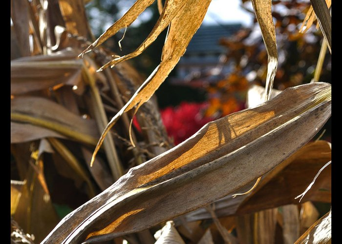 Corn Stalk Greeting Card featuring the photograph Stalks by Tim Nyberg