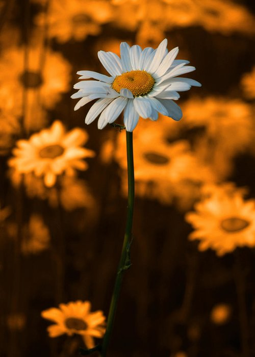 Daisy Greeting Card featuring the photograph Standing Alone by Linda McRae