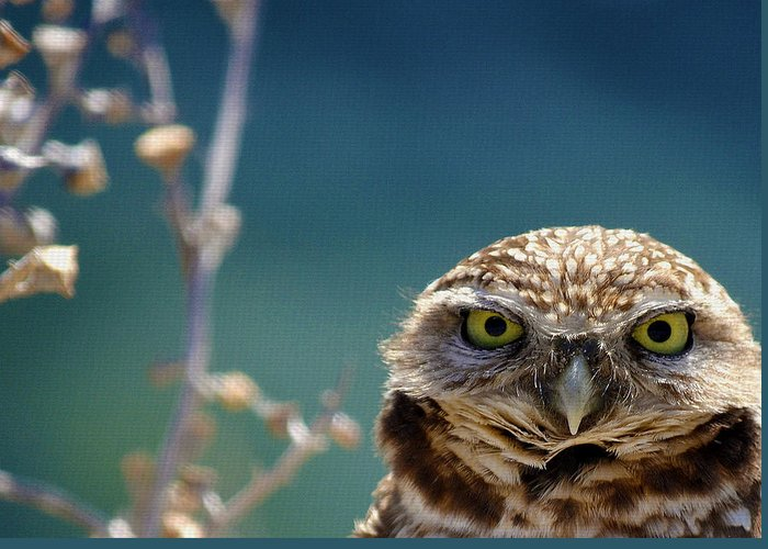 Burrowing Owl Greeting Cards