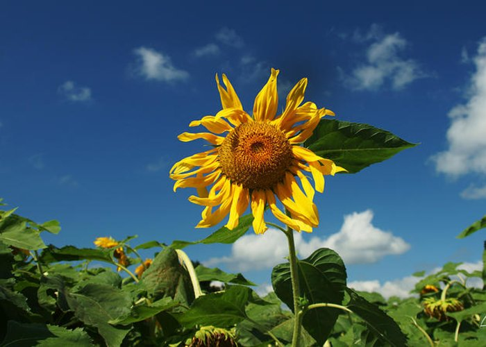 Sunflower Greeting Card featuring the photograph Standing Tall by Louise Reeves