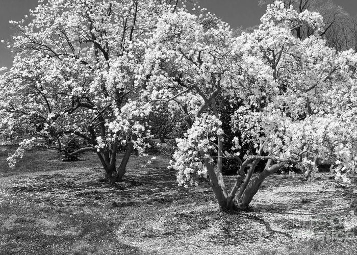 Dc Landcsapes Greeting Card featuring the photograph Star Magnolia Trees by Chris Scroggins