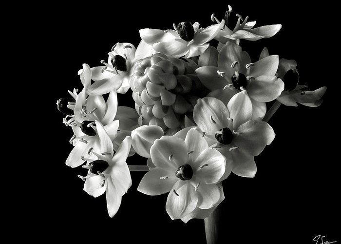 Flower Greeting Card featuring the photograph Star Of Bethlehem In Black And White by Endre Balogh