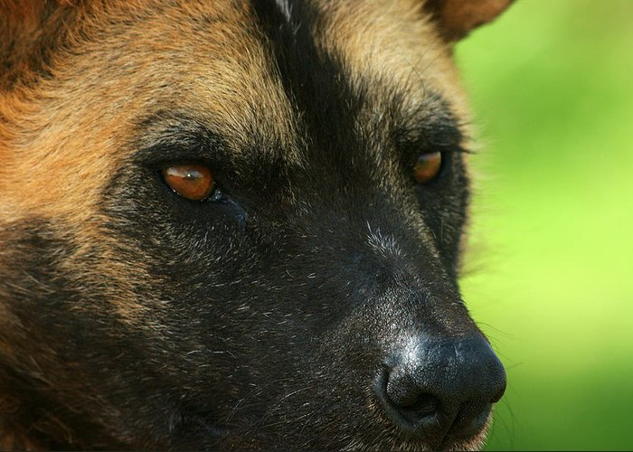 Wildlife-african Wild Dog Greeting Card featuring the photograph Stare Me Down by John Bradford