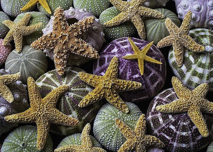 Purple Sea Stars Greeting Cards